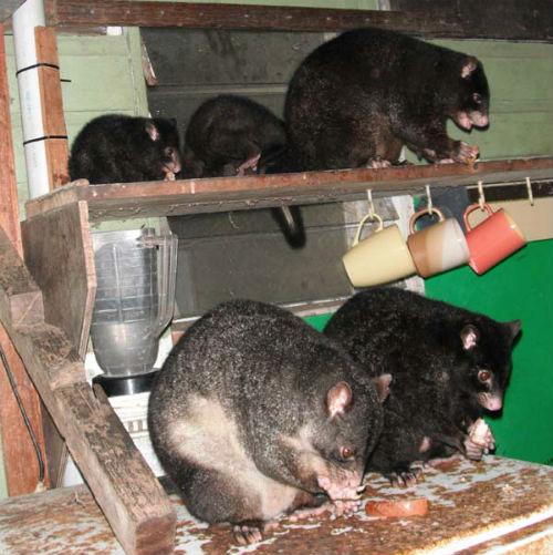 possum family on the shed fridge